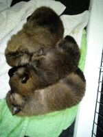 Pomeranian Puppies for sale in 157 Dolson Ave, Middletown, NY 10940, USA. price: NA