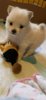 Pomeranian Puppies for sale in Peculiar, MO 64078, USA. price: NA