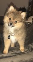 Pomeranian Puppies for sale in Round Rock, TX, USA. price: NA