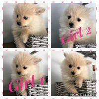 Pomeranian Puppies for sale in Anaheim Hills, Anaheim, CA, USA. price: NA