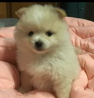Pomeranian Puppies for sale in Rogers, OH 44455, USA. price: NA