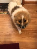 Pomeranian Puppies for sale in Akron, OH, USA. price: NA