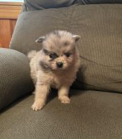 Pomeranian Puppies for sale in Oildale, CA 93308, USA. price: NA