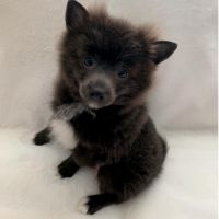 Pomeranian Puppies for sale in Englishtown, NJ 07726, USA. price: NA