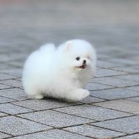 Pomeranian Puppies for sale in Fort Lauderdale, FL, USA. price: NA