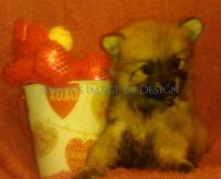 Pomeranian Puppies for sale in Lexington, SC, USA. price: NA