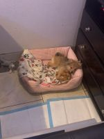 Pomeranian Puppies for sale in San Diego, CA, USA. price: NA