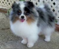 Pomeranian Puppies for sale in Fresno, CA, USA. price: NA