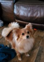Pomeranian Puppies for sale in Lake City, FL, USA. price: NA