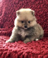Pomeranian Puppies for sale in Silverton, OR 97381, USA. price: NA