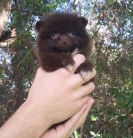 Pomeranian Puppies for sale in West Palm Beach, FL, USA. price: NA