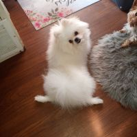 Pomeranian Puppies for sale in Palm Springs, CA, USA. price: NA