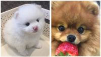 Pomeranian Puppies for sale in Cerritos, CA, USA. price: NA