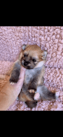 Pomeranian Puppies for sale in Port St. Lucie, FL, USA. price: NA