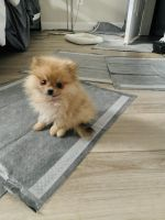 Pomeranian Puppies for sale in Frederick, MD, USA. price: NA