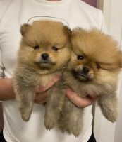 Pomeranian Puppies for sale in Idaho Falls, ID, USA. price: NA