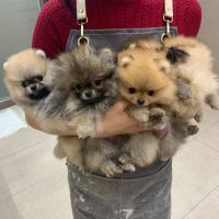 Pomeranian Puppies for sale in Idaho Springs, CO, USA. price: NA