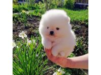 Pomeranian Puppies for sale in Florida City, FL, USA. price: NA