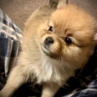 Pomeranian Puppies for sale in New Boston, TX 75570, USA. price: NA