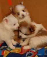 Pomeranian Puppies for sale in Fairview Heights, IL 62208, USA. price: NA