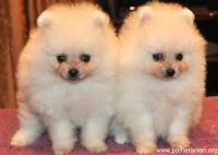 Pomeranian Puppies for sale in Orange Beach, AL, USA. price: NA