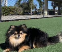 Pomeranian Puppies for sale in Port Orange, FL, USA. price: NA