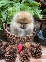 Pomeranian Puppies for sale in Tampa, FL, USA. price: NA
