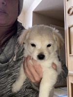 Pomeranian Puppies for sale in Northville, MI, USA. price: NA
