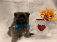 Pomeranian Puppies for sale in Whittier, CA 90602, USA. price: NA