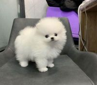 Pomeranian Puppies for sale in Alma, CO, USA. price: NA