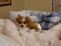 Pomeranian Puppies for sale in Warrenton, VA, USA. price: NA