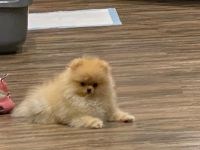 Pomeranian Puppies for sale in Orange County, CA, USA. price: NA