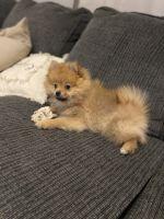 Pomeranian Puppies for sale in Old Bridge, NJ 08857, USA. price: NA