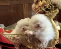 Pomeranian Puppies for sale in California St, San Francisco, CA, USA. price: NA
