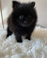 Pomeranian Puppies for sale in 20 Maryland Ave, Rockville, MD 20850, USA. price: NA