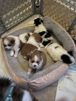 Pomeranian Puppies for sale in Lynchburg, VA, USA. price: NA