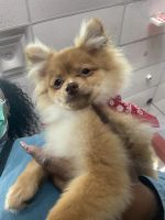 Pomeranian Puppies for sale in Sunrise, FL, USA. price: NA