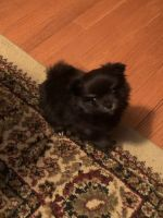 Pomeranian Puppies for sale in Greenbrier, TN 37073, USA. price: NA