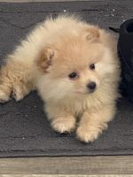 Pomeranian Puppies for sale in Holland, MI 49423, USA. price: NA