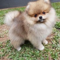 Pomeranian Puppies for sale in 1900 Palm Ave, Manhattan Beach, CA 90266, USA. price: NA