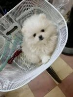 Pomeranian Puppies for sale in San Angelo, TX, USA. price: NA