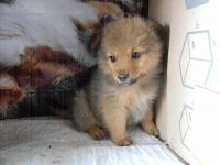 Pomeranian Puppies for sale in Sussex, NJ 07461, USA. price: NA