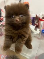 Pomeranian Puppies for sale in Flushing, NY 11358, USA. price: NA