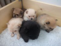 Pomeranian Puppies for sale in TWN N CNTRY, FL 33615, USA. price: NA