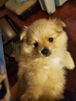 Pomeranian Puppies for sale in Highland, CA 92346, USA. price: NA