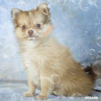 Pomeranian Puppies for sale in Clare, MI 48617, USA. price: NA