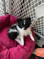Pomeranian Puppies for sale in Lacey, WA, USA. price: NA