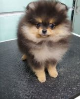 Pomeranian Puppies for sale in Cape Coral, FL, USA. price: NA