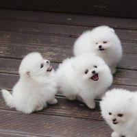 Pomeranian Puppies for sale in Flower Mound, TX, USA. price: NA