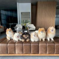 Pomeranian Puppies for sale in 300 N Los Angeles St, Los Angeles, CA 90012, USA. price: NA